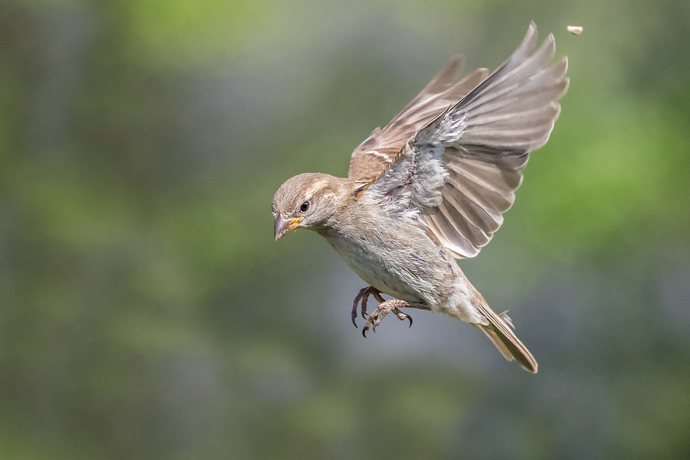 Female Sparrow preparing to land