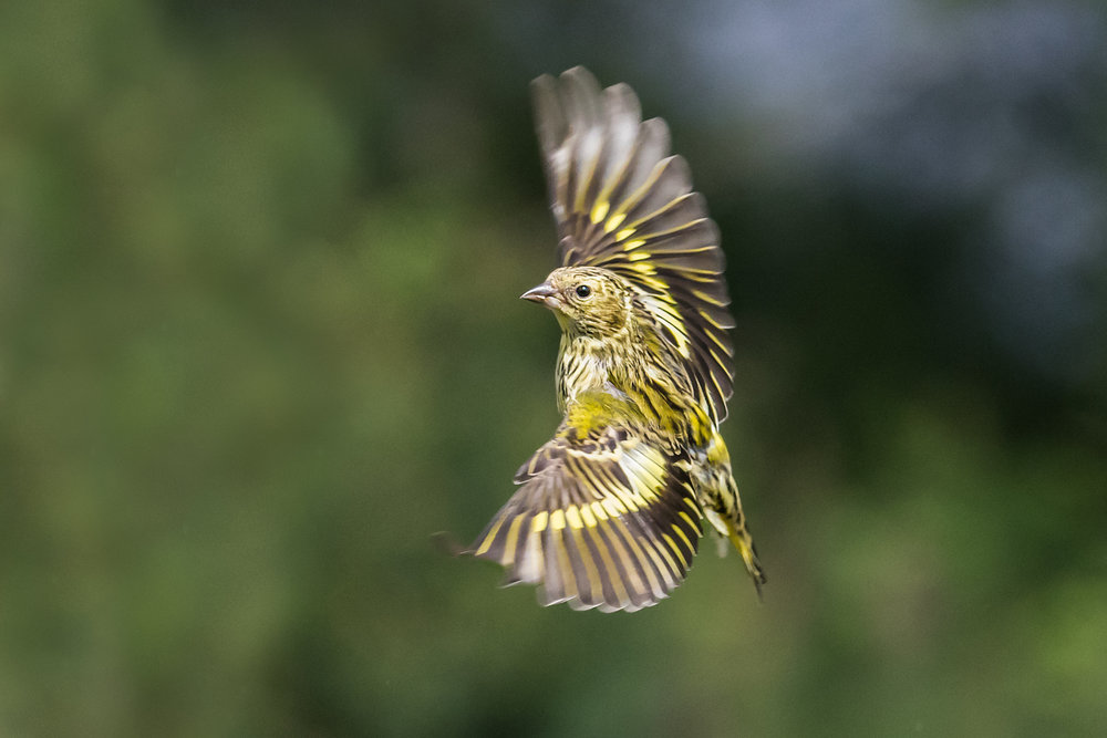 Female Siskin turning