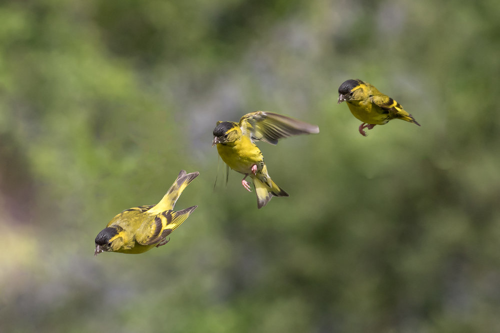 Male Siskin - three-shot flight sequence