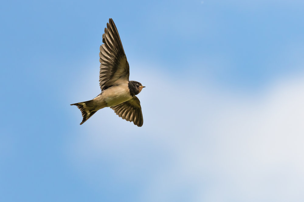 Young Swallow #1
