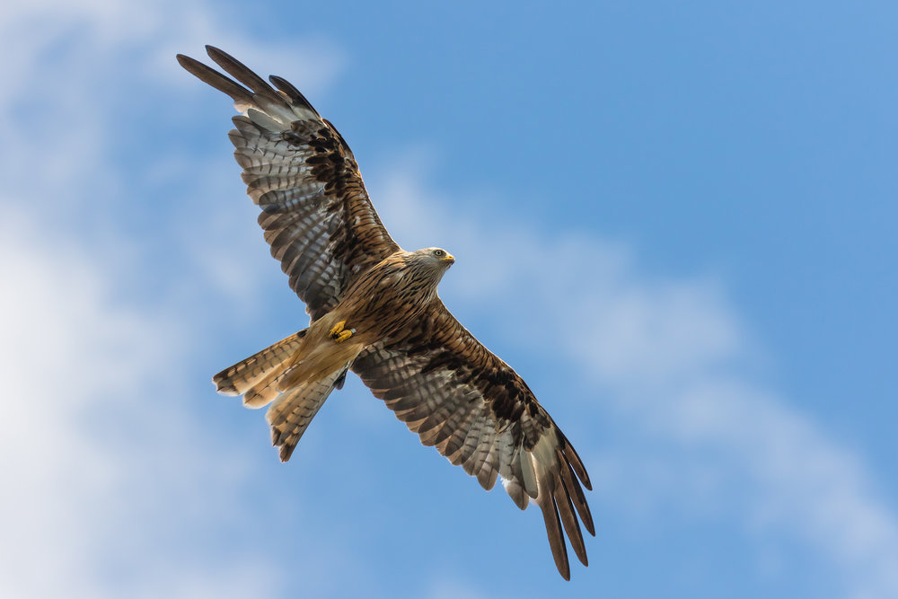 Red Kite overhead