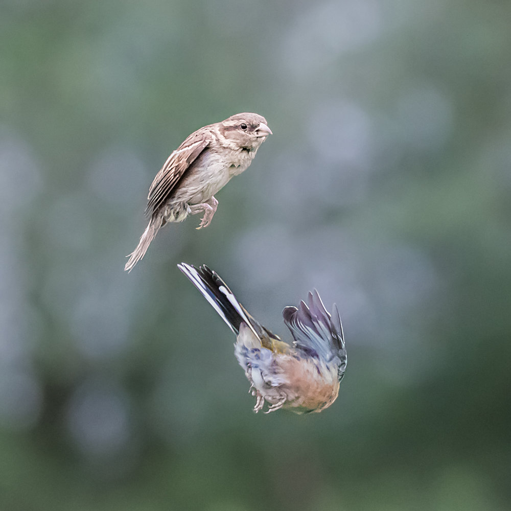 Sparrow avoiding a Chaffinch!