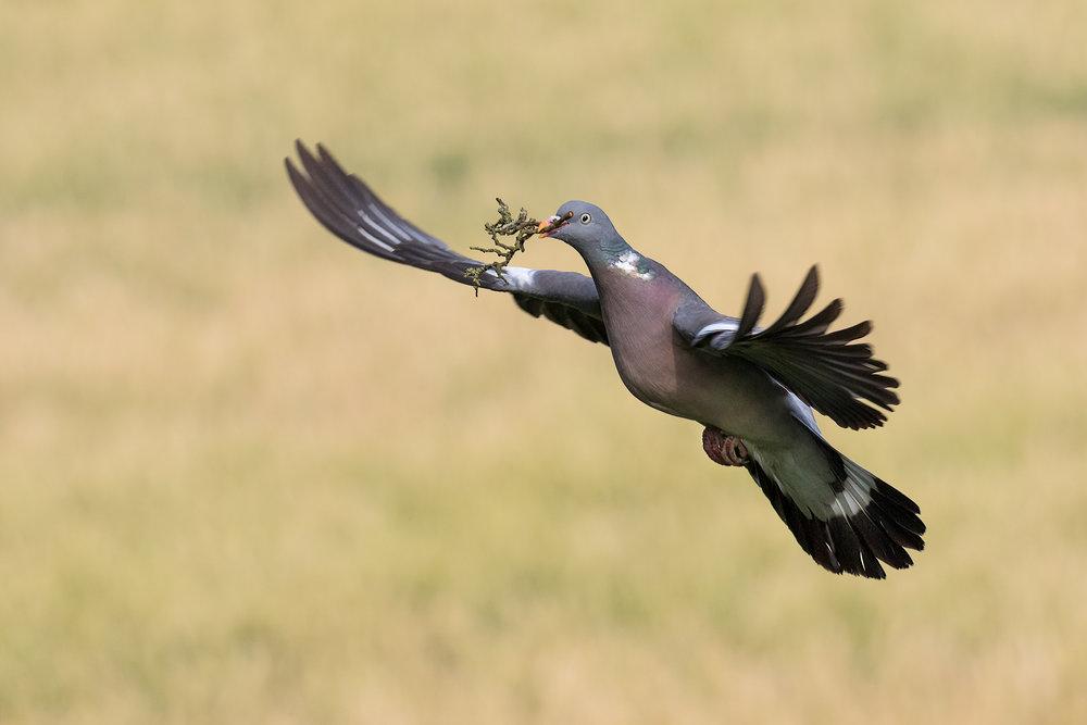 Wood (Peace) Pigeon #2