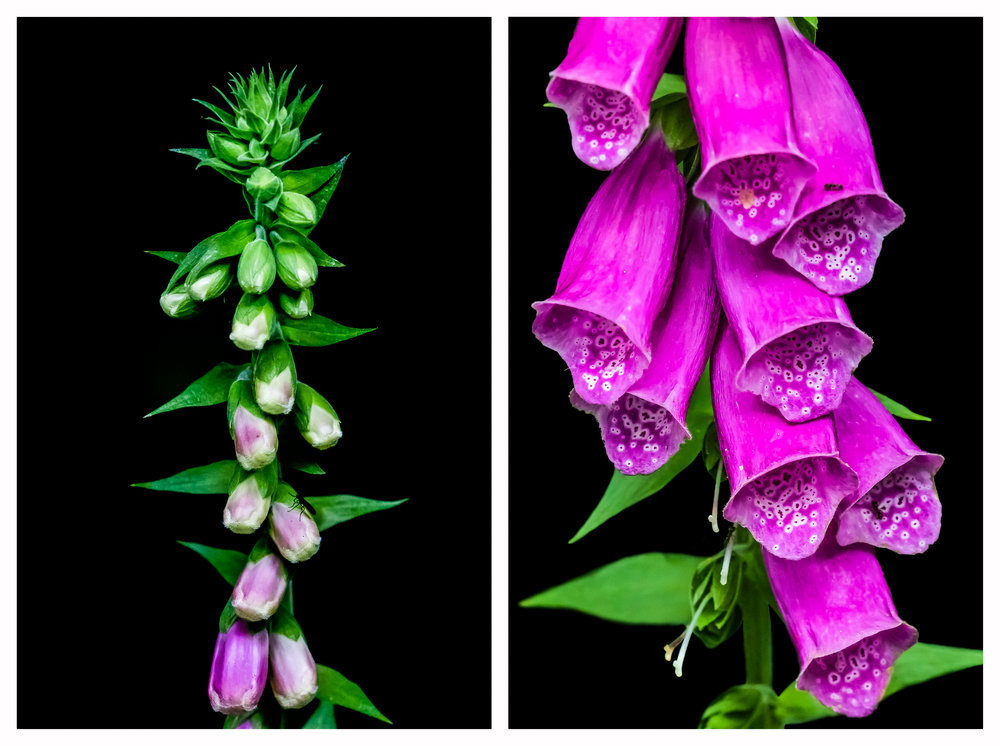 Closed and open Foxglove
