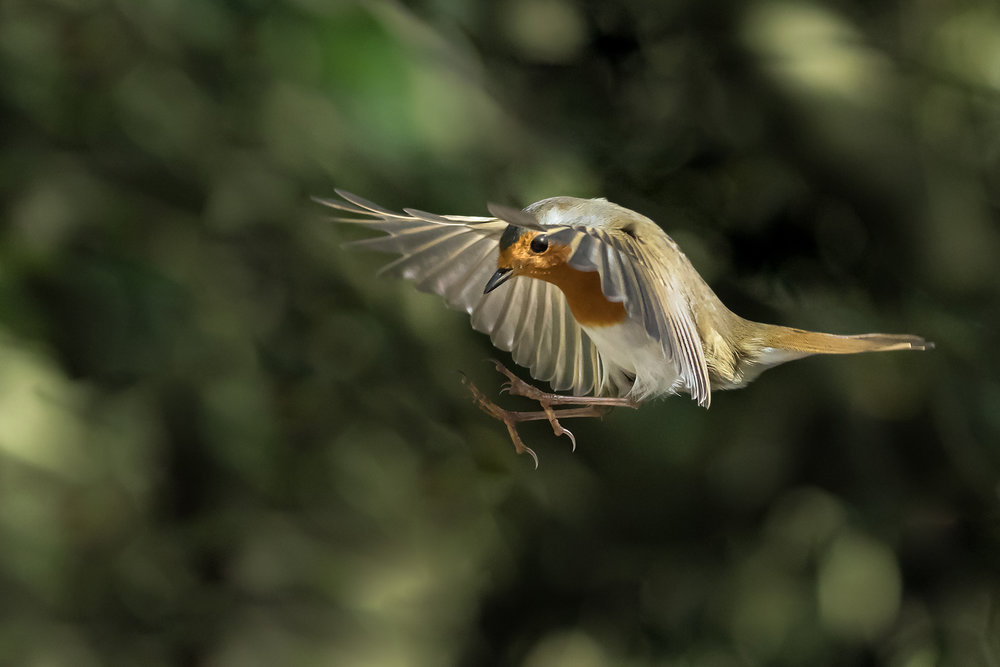 Robin flight