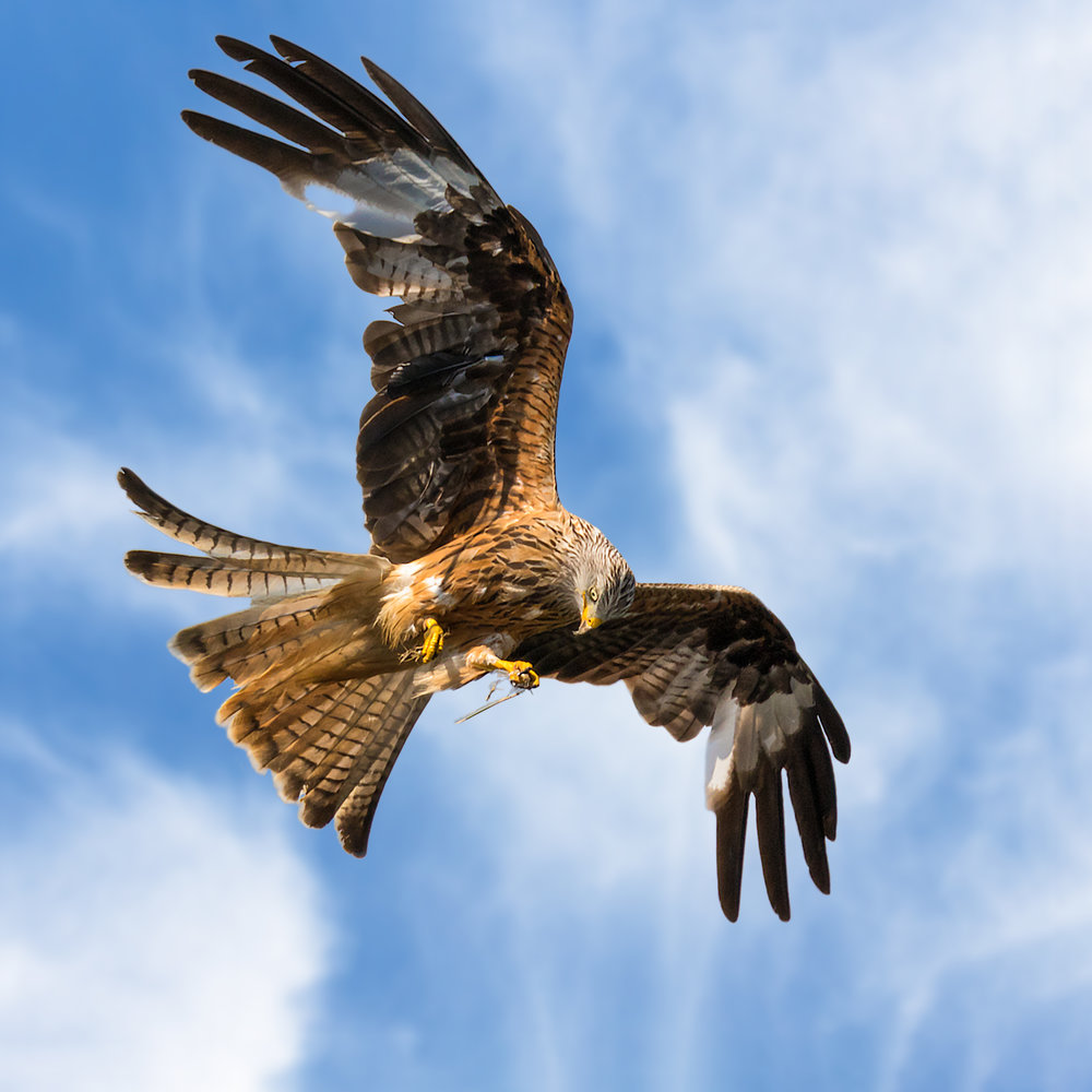 Red Kite with carrion