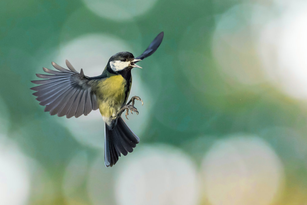 Great Tit frozen in time