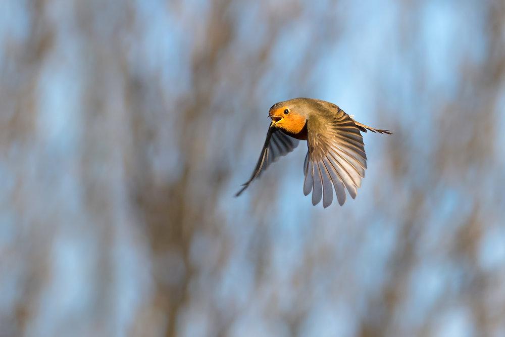 Robin mid flight