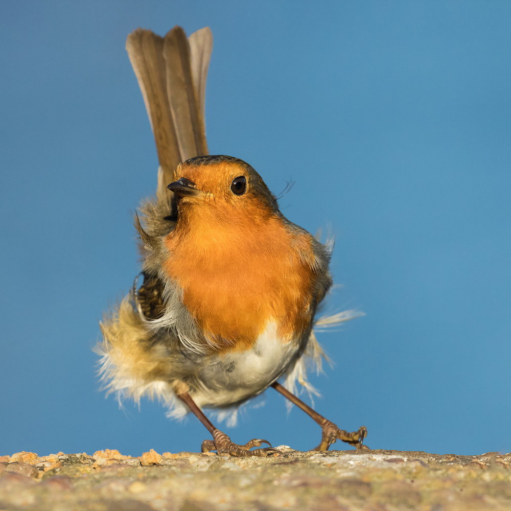 Robin portrait #3