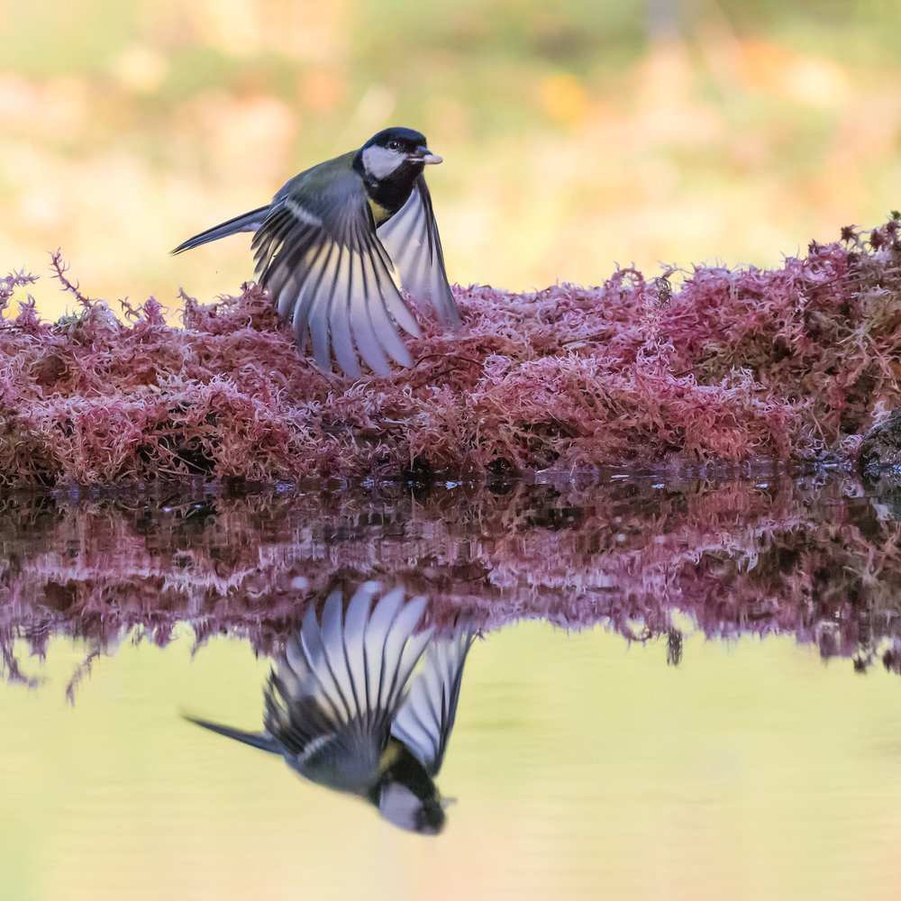 Great Tit flight reflection