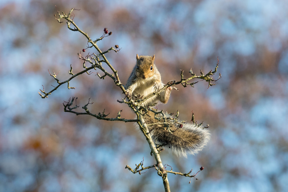 A wintertime Grey Squirrel