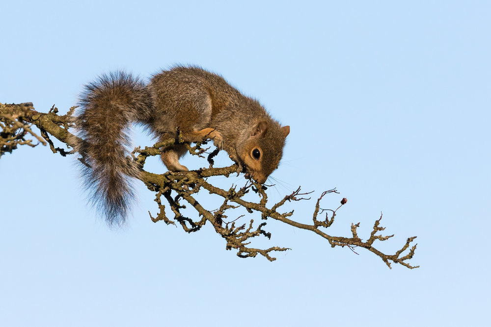 Agile Grey Squirrel