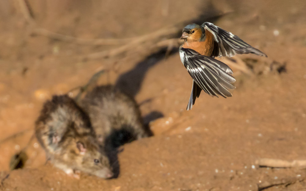 Chaffinch avoids a rat!