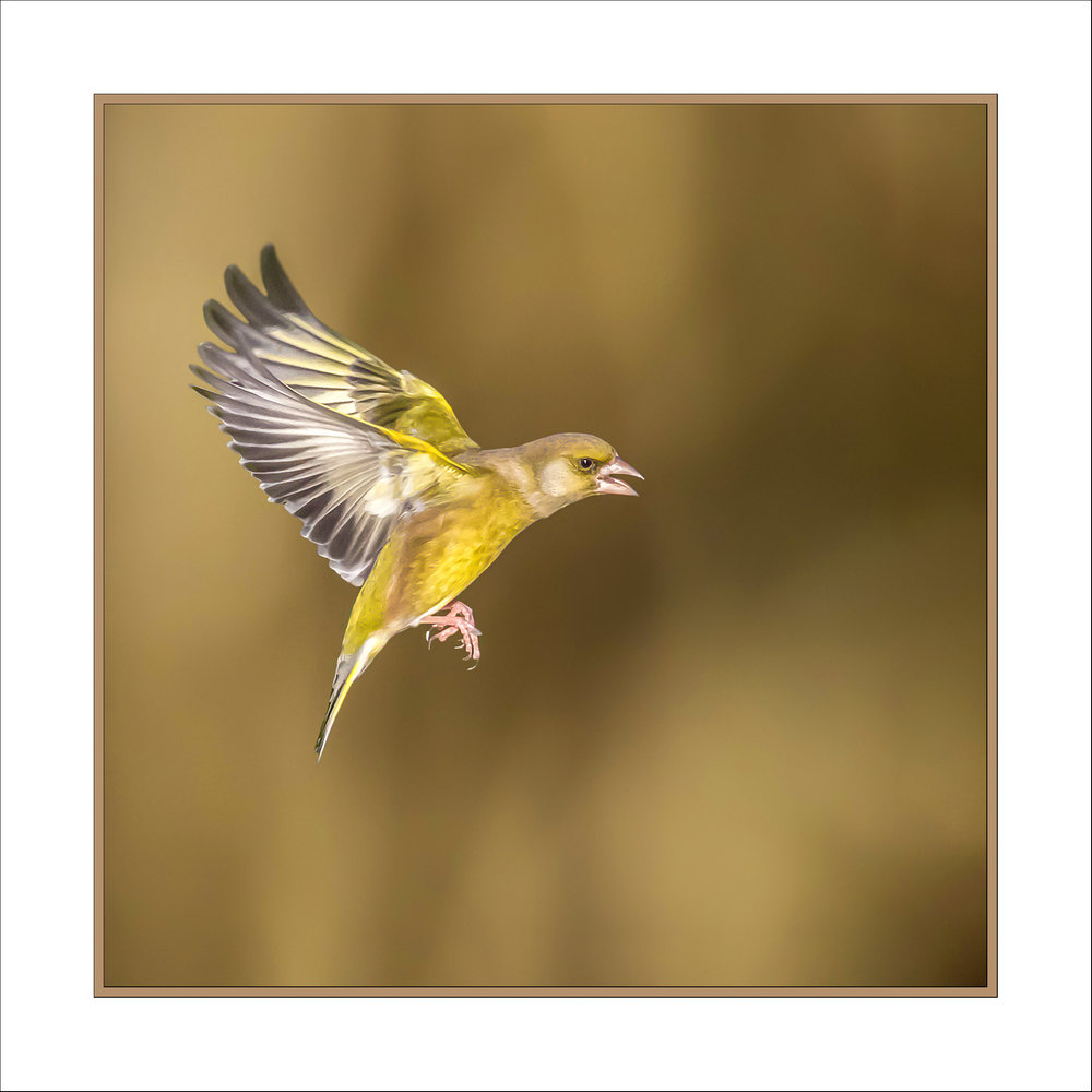 Framed Greenfinch
