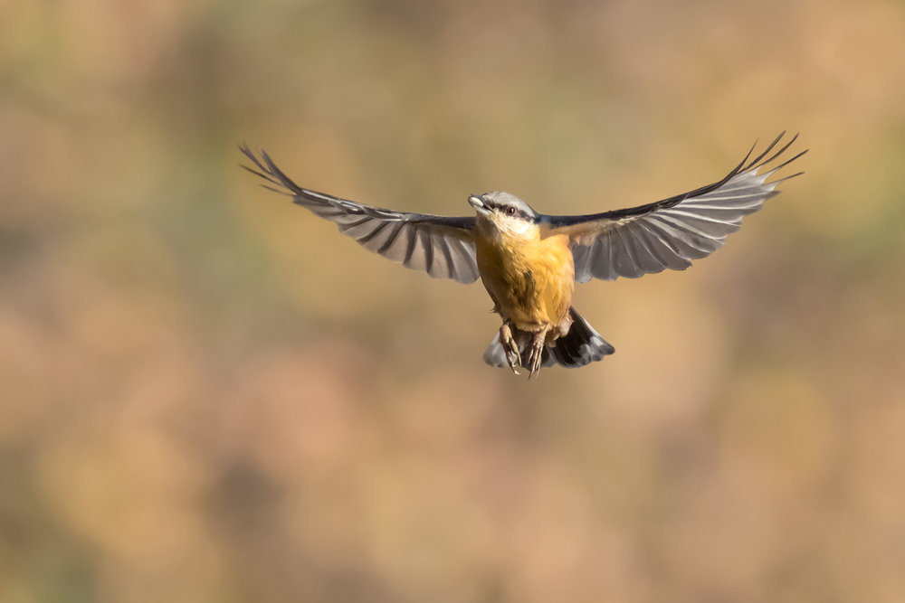 Nuthatch flight