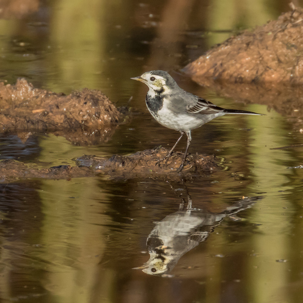 Reflection on a Pied Wagtail