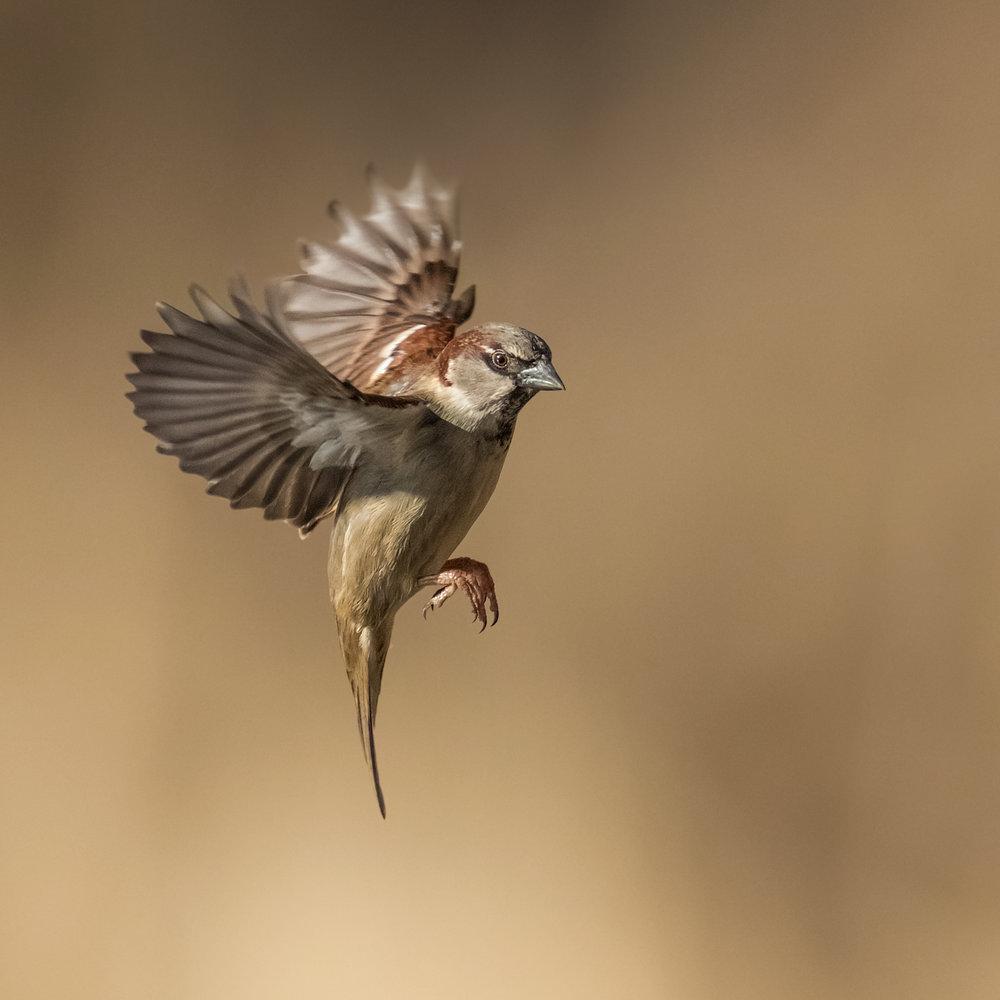 Male Sparrow frozen in flight