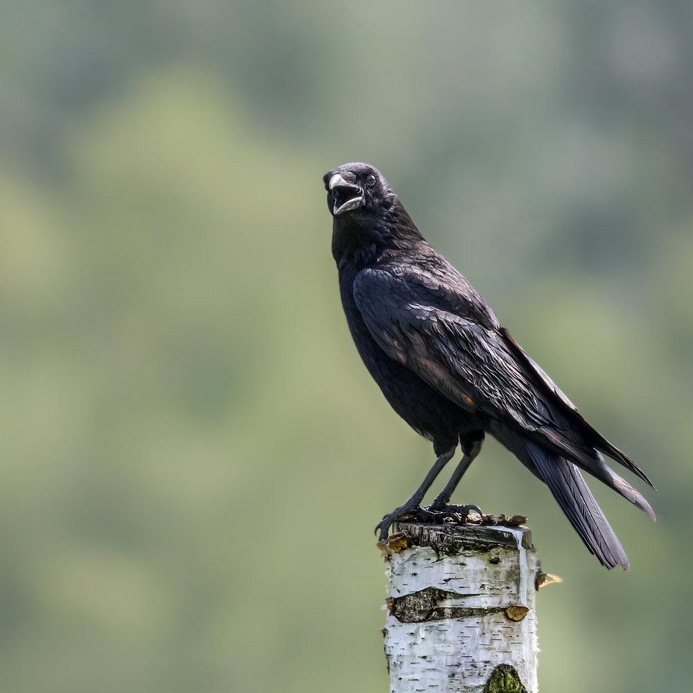 Carrion Crow #1
