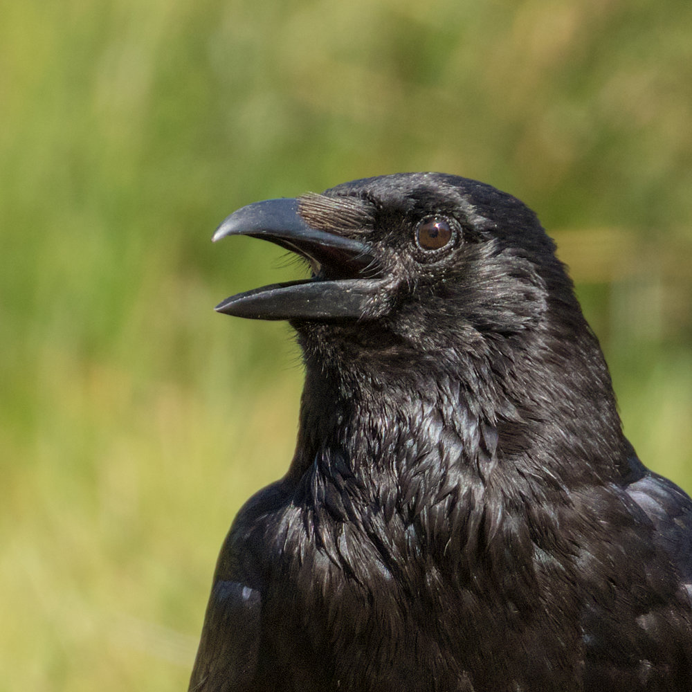 Carrion Crow #2