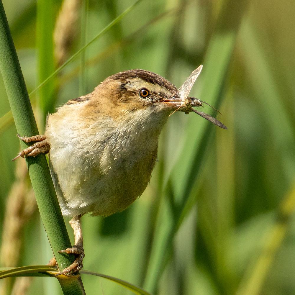 Adult Sedge Warbler