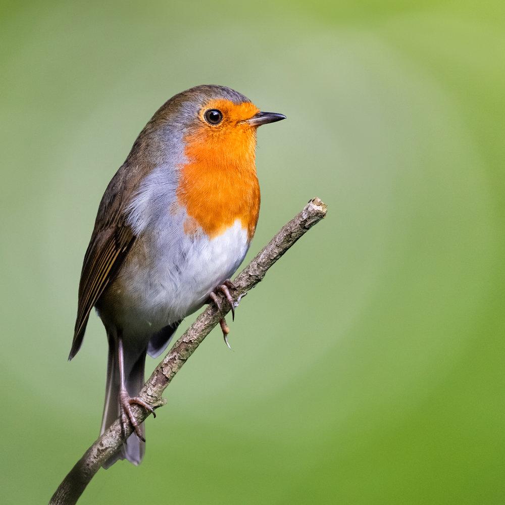 Robin portrait #4