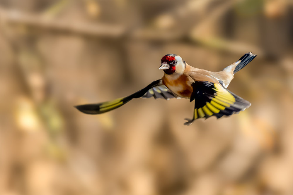 Goldfinch flight #2
