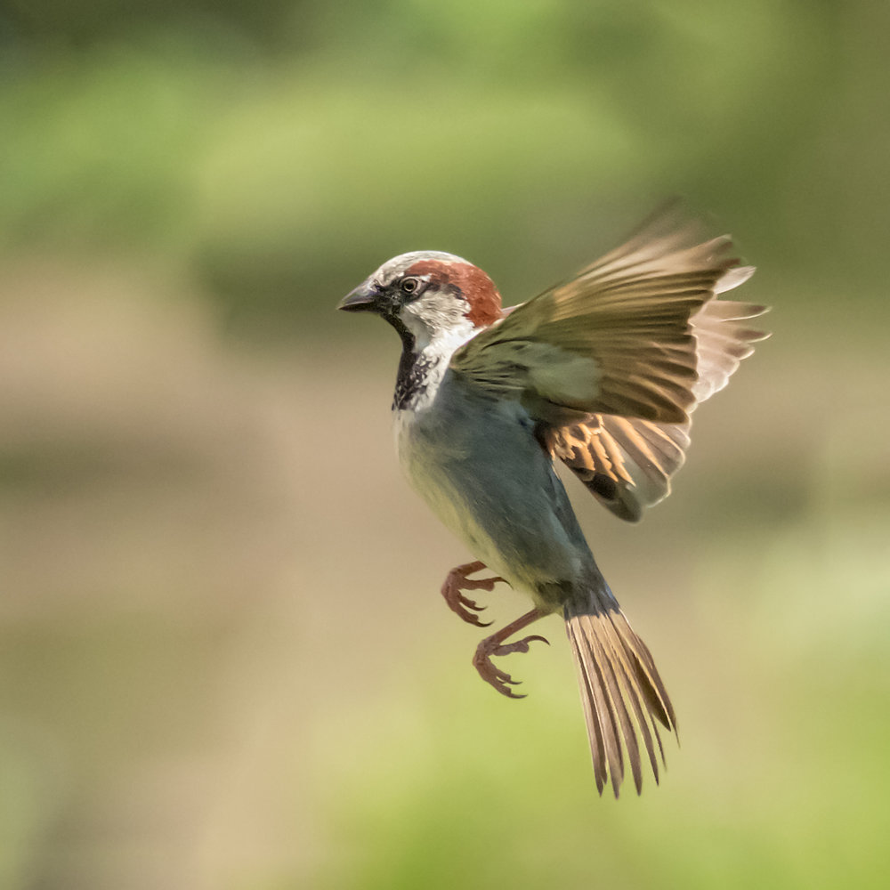 Sparrow flight #1