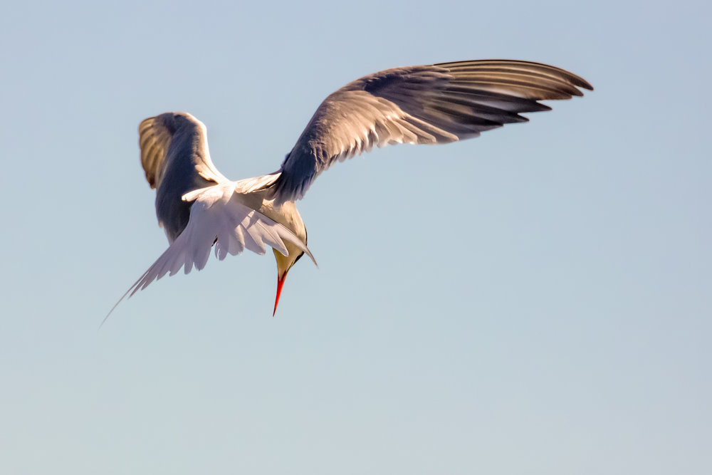 Hovering Tern #2