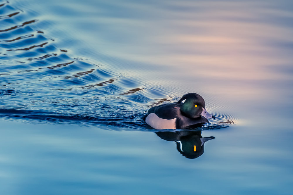 Tufted Duck #1