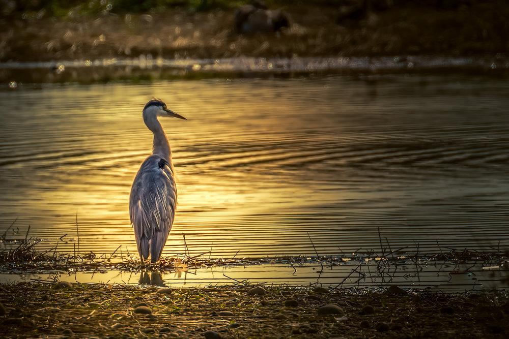 Heron at sundown