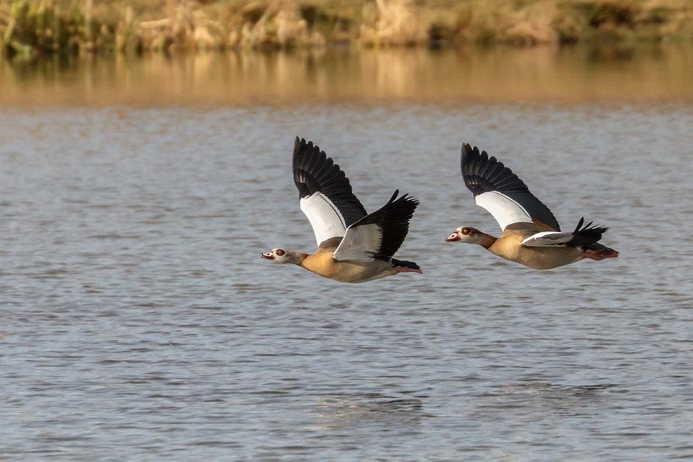 Egyptian Geese pair