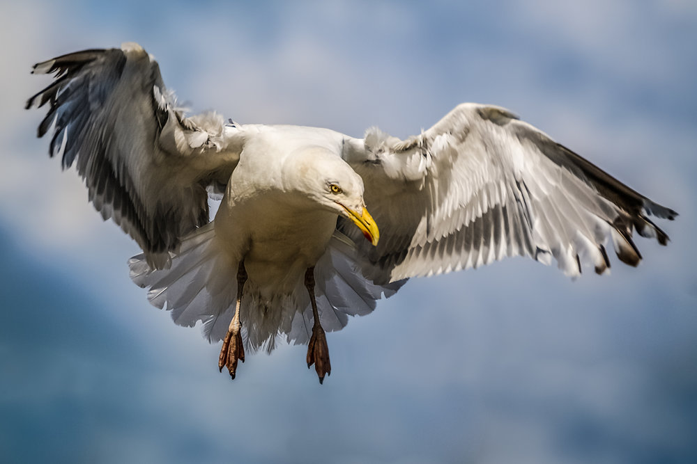 Angry looking Herring Gull