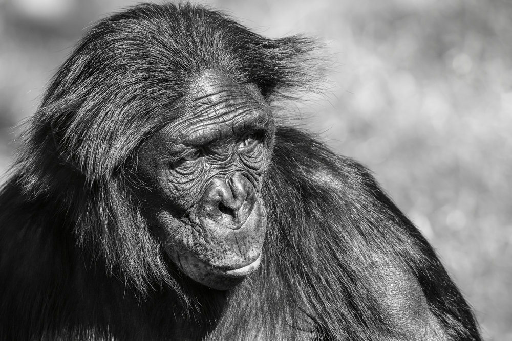 Bonobo Ape - our closest relative