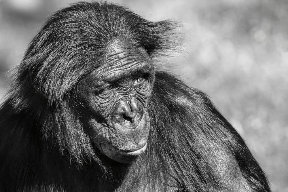 Bonobo Ape - our closest relative
