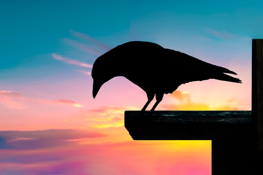 Carrion Crow at Sunset