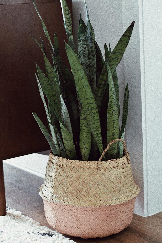 snake plant in woven basket.JPG