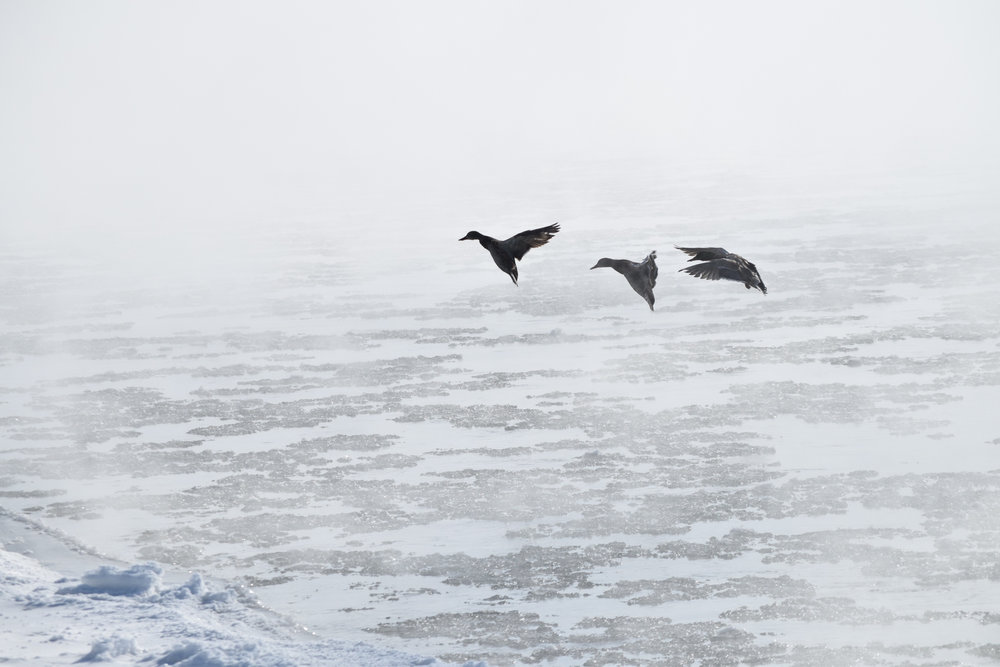 Ducks landing in ice