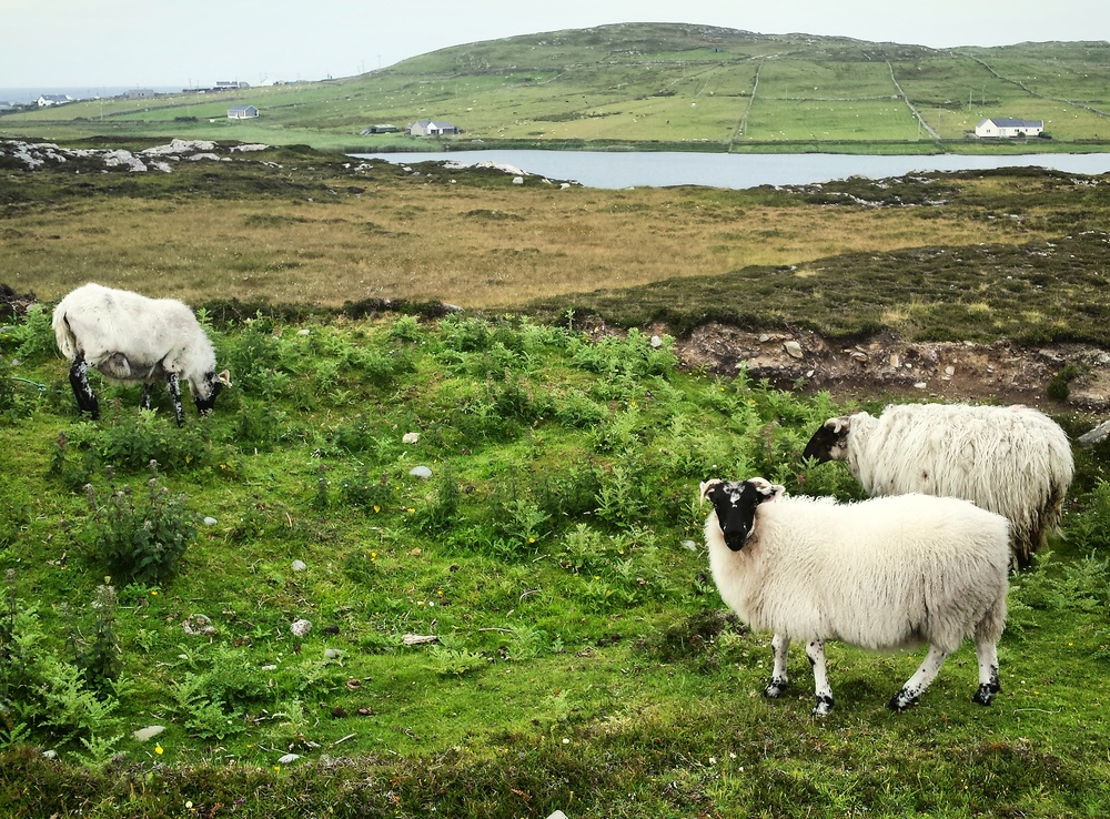 A few of the many sheep trotting about the island freely.