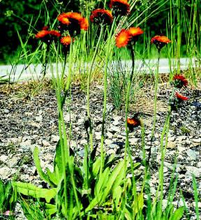 hawkweed-orange.jpg