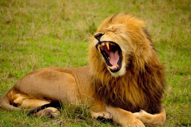 You wouldn't yawn if you'd quit lion around.