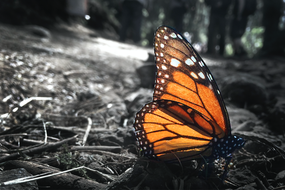 Monarch Butterfly that landed in the sun to warm up during their mass migration. Rosario Butterfly Sanctuary, Michoacan, Mexico.