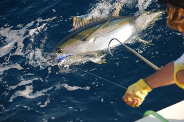 Yellow Fin Tuna on the High Return Sportfishing Boat