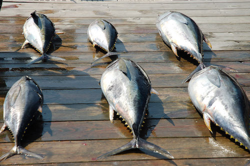 Blue Fin Tuna - HIgh Return Sportfishing Charter