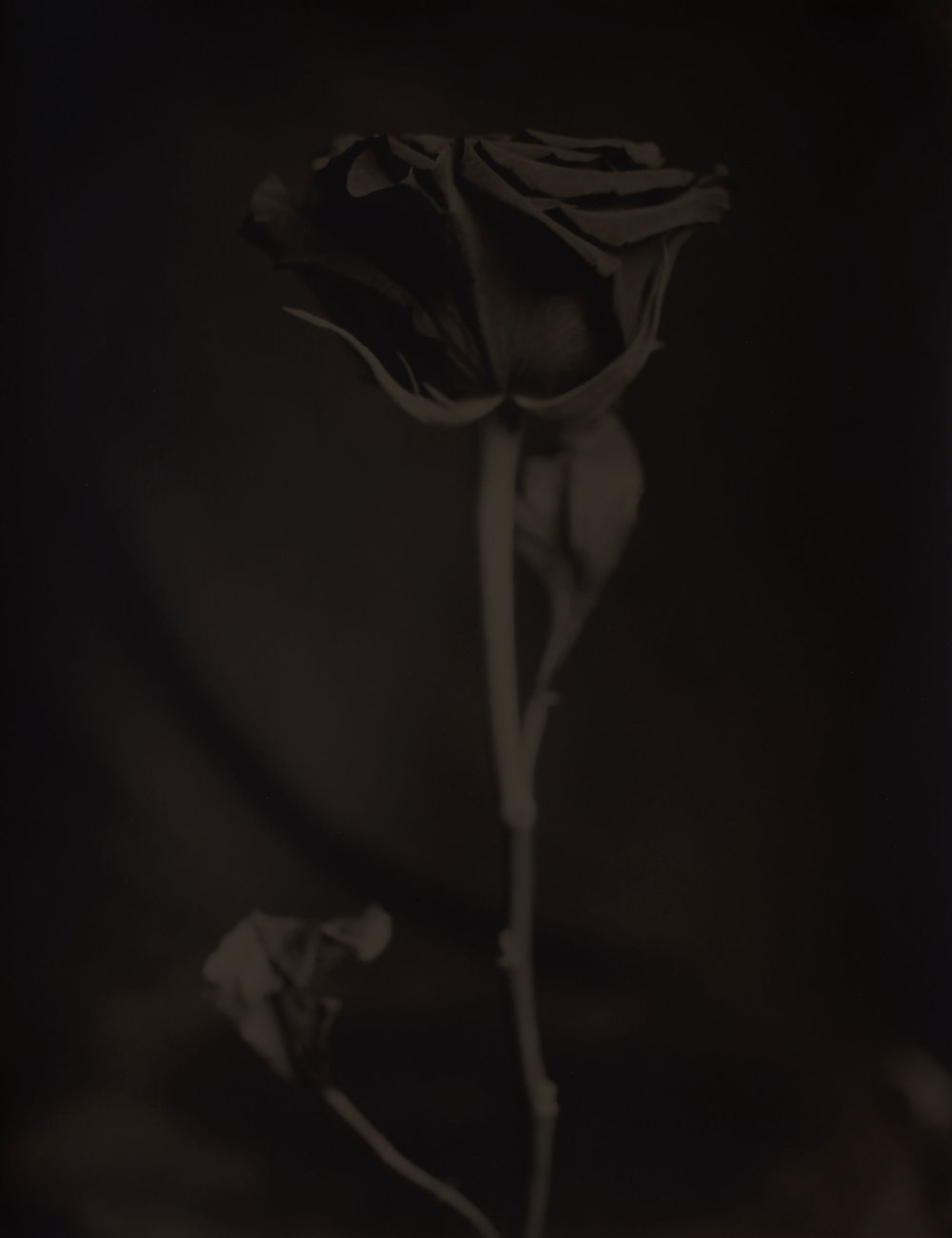 Rose, 2016Gelatin Silver Print, 24 x 20 in.