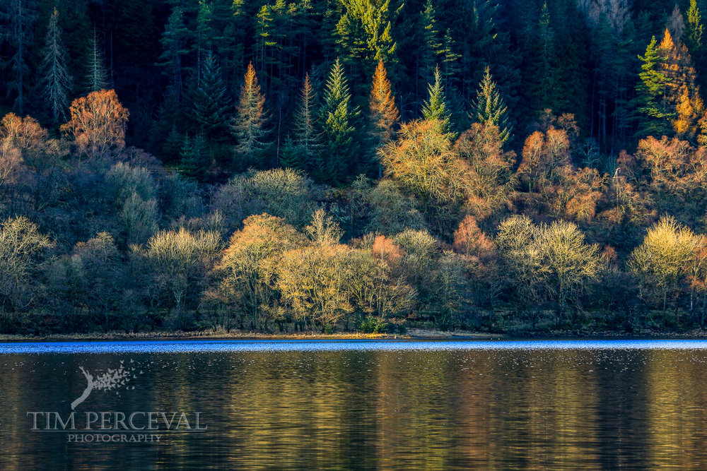 Autumn Coloured Pines on Loch Lubnaig