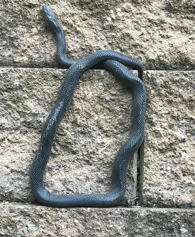 "Today's photo is brought to you by the letter ""b"" #letterb #alleghenyratsnake #shapesinnature #blacksnake #hanginthere"
