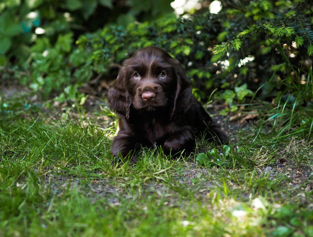 Ginnie Hvalpe 6 uger Leger i haven Falstria