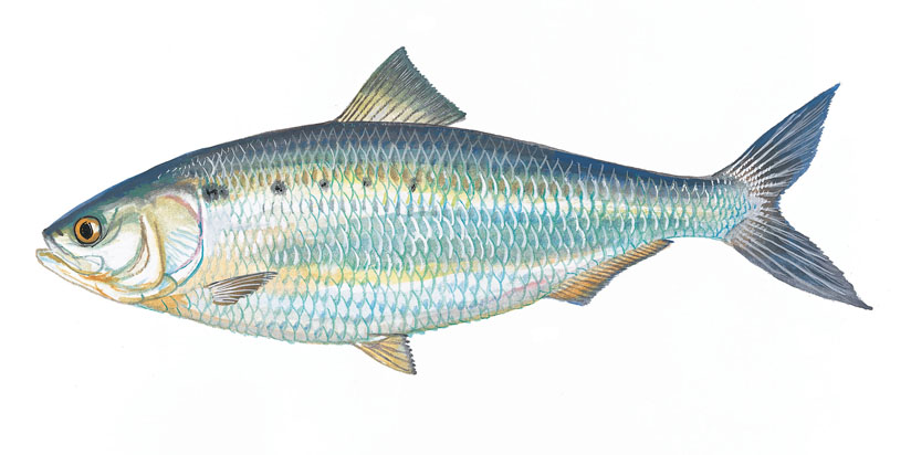 Illustration of an American Shad from  dnr.sc.gov