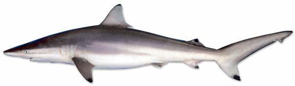Spinner shark.