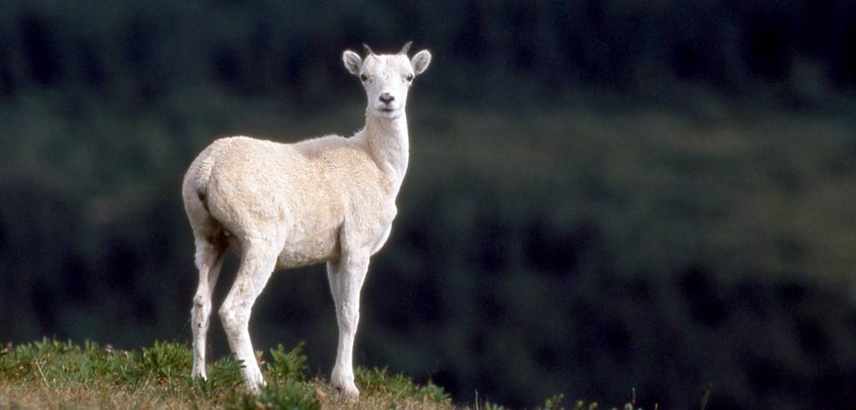 Curious Ewe